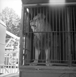 [Lion en cage]