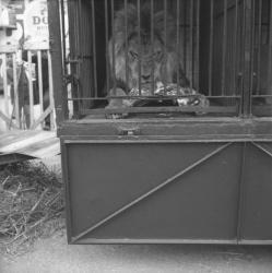[Le repas du lion]