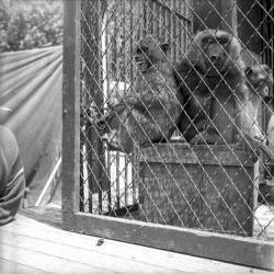 [Trois macaques]