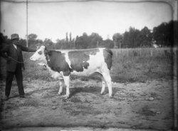 [Ecole d'agriculture de Cibeins : vache et vacher]