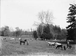 [Ecole d'agriculture de Cibeins : troupeau]