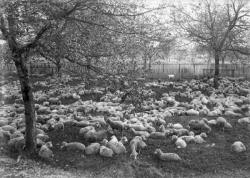 [Moutons dans un enclos]