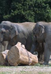 [Les éléphants d'Asie du parc de la Tête-d'Or]