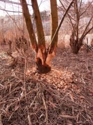 Un arbre entaillé par des castors, quai Charles de Gaulle