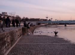 Le Quai Victor-Augagneur : cygnes et canards