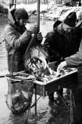 Pêche dans la Dombes 20/36 : Le pêcheur vide l'arvaux...
