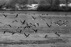 Pêche dans la Dombes 15/36 : Vol de mouettes...