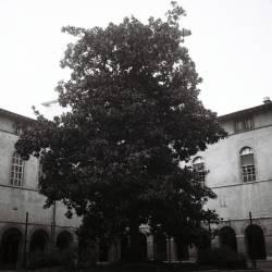 Un arbre immense dans la cour intérieure de l'hôtel-Dieu