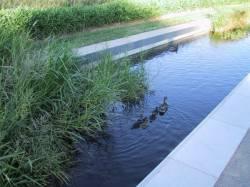 Canards au parc de Gerland