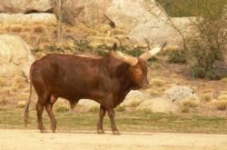 La plaine africaine : taureau Watussi