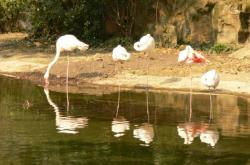 La plaine africaine : flamands roses
