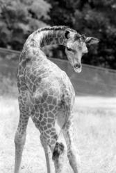 [Girafon au parc animalier de Peaugres]