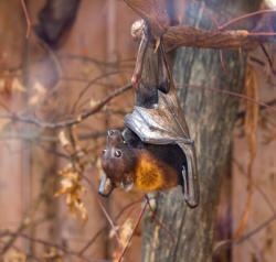 Parc des oiseaux, roussette