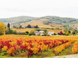 Vignes d'octobre, vers Brouilly