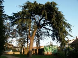 Anse, parc de la Roseraie, cèdre.