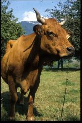 [Vache tarine, La Chapelle]