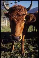 [Vache tarine, Le Montcel]