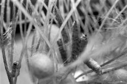 [Unité nationale séricicole de La Mulatière. Elevage de vers à soie (bombyx mori)]