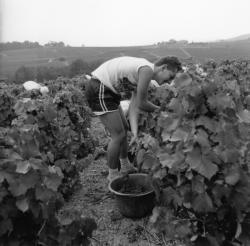 [Vendanges du beaujolais à Saint-Etienne-des-Oullières (Rhône)]
