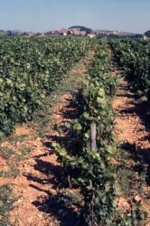 [Les vignes aux alentours de Theizé (Rhône)]