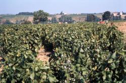 [Vendanges en Beaujolais (Rhône)]