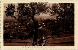 Vue générale d'Aubenas (Ardèche) à travers les oliviers