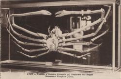 Lyon : Muséum d'Histoire Naturelle, 28, Boulevard des Belges : Macrocheira Kampferil (Japon)