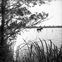 [Un cheval au milieu d'une étendue d'eau]