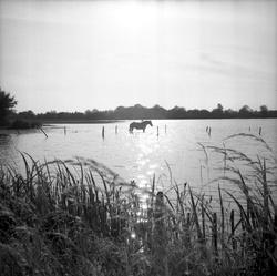 [Un cheval est au milieu d'une étendue d'eau]