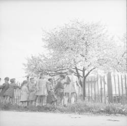 [Groupe d'enfants sur le bord du chemin près d'un cerisier en fleur]