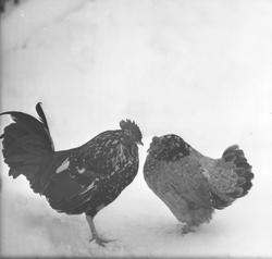 [Un coq et une poule dans la neige]