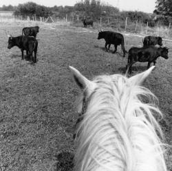 [Elevage de taureaux du domaine du Cara à Monthieux]