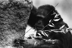 [Les chimpanzés du Parc zoologique de Saint-Martin-la-Plaine (Loire)]