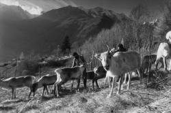 [Elevage de rennes en Isère]