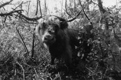 [Des bovins Highland Cattle dans le marais de Lavours]