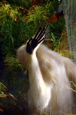 Gibbon énervé