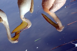 Reflets de Pélicans dans le lac