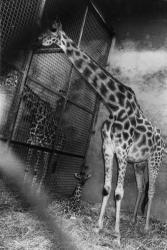 [Le girafon du Parc de la Tête-d'Or]