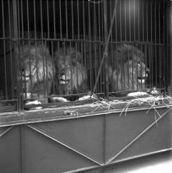 [Trois lions dans leur cage]