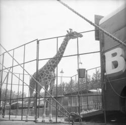 [Le repas suspendu de la Girafe]