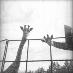 [Deux Girafes]