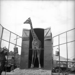 [Une Girafe sort la tête de son box]