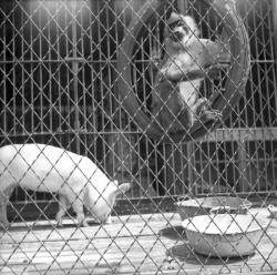 [Un singe et un cochon dans la même cage]