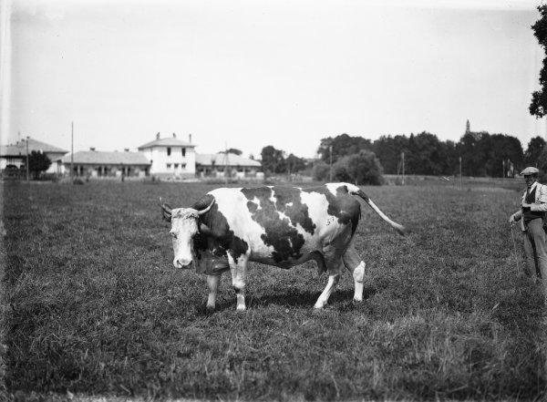 [Ecole d'agriculture de Cibeins : vache]