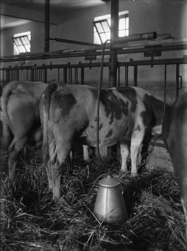 [Ecole d'agriculture de Cibeins : traite mécanique des vaches]