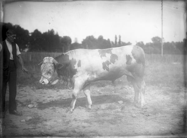 [Ecole d'agriculture de Cibeins : taureau et vacher]
