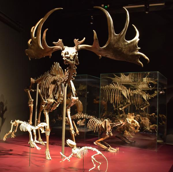 Le Megaloceros giganteus, collection de l'ancien Museum de Lyon
