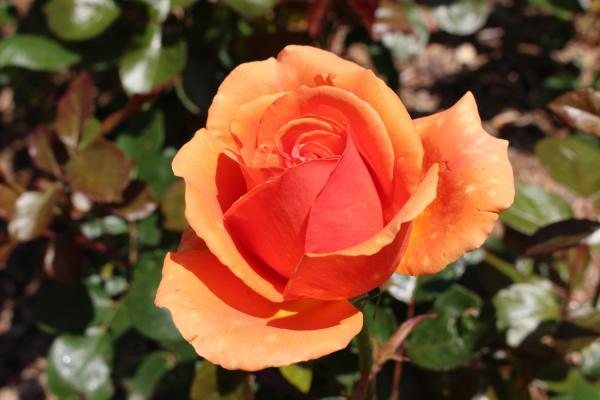 Une rose dans la Roseraie de concours