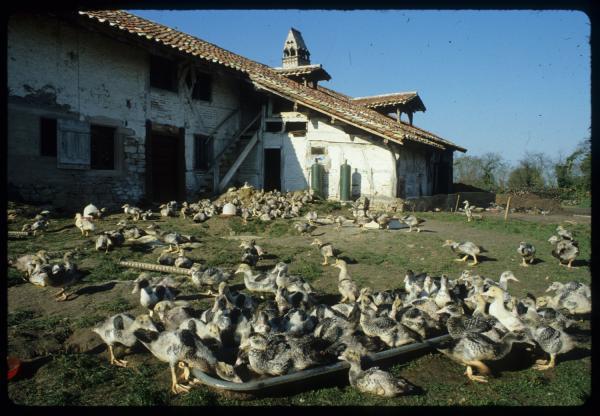 [Un élevage de canards dans une ferme bressanne, Chevroux]