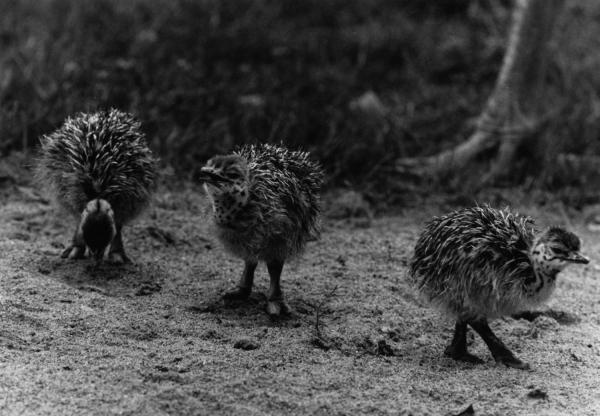 [Naissance d'autruchons au Parc des oiseaux de Villars-les-Dombes]